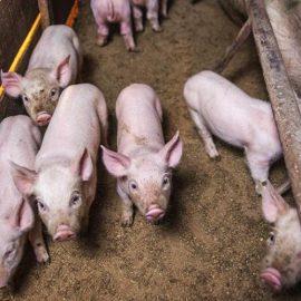 (Tiếng Việt) Bệnh tiêu chảy cấp trên lợn con (PED)