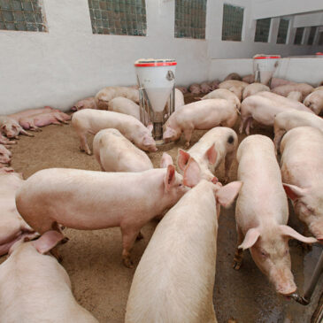 (English) Veterinary medicine company APA: Controlling the environment of the pig