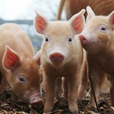 Piglet diarrheas: A common problem explained