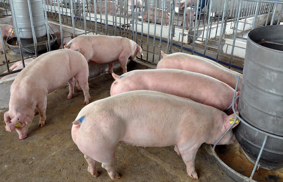 Kháng sinh sử dụng để nâng cao sức khỏe của đàn heo thì cũng gián tiếp cải thiện chất lượng thịt.