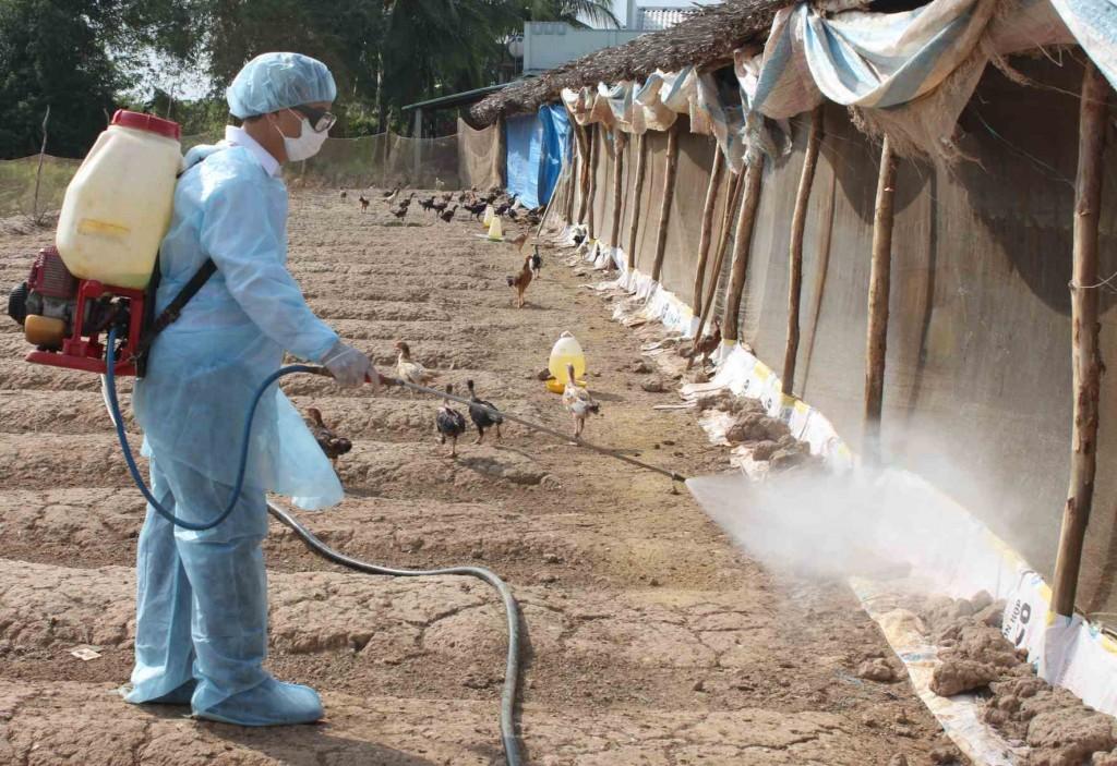 Phun thuốc sát trùng xung quanh khu vực chăn nuôi.