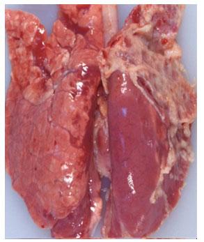 Bệnh tích Tụ huyết trùng heo (phổi tụ huyết, xuất huyết).