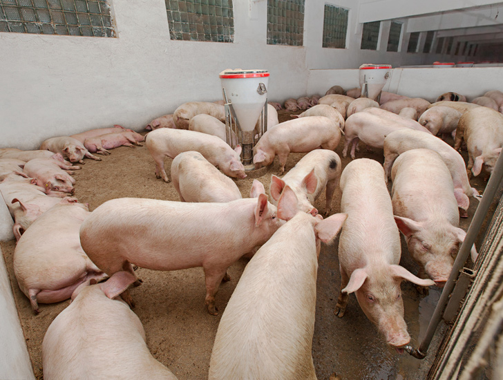 Veterinary medicine company APA: Controlling the environment of the pig