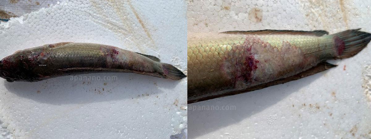 Bệnh lở loét trên cá lóc là bệnh khá nguy hiểm và khó chữa.