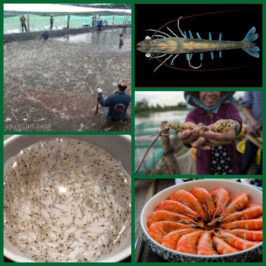 Shrimp farming in earthen pond